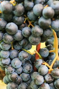 Irongate Cab Sauv at Harvest