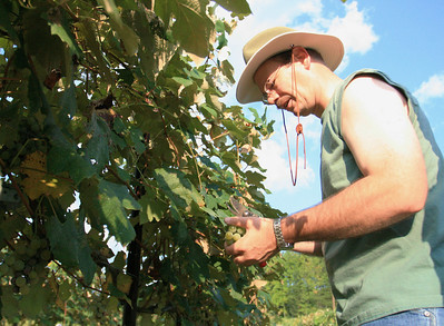 Stonefield-Robert Wurz winemaker harvesting
