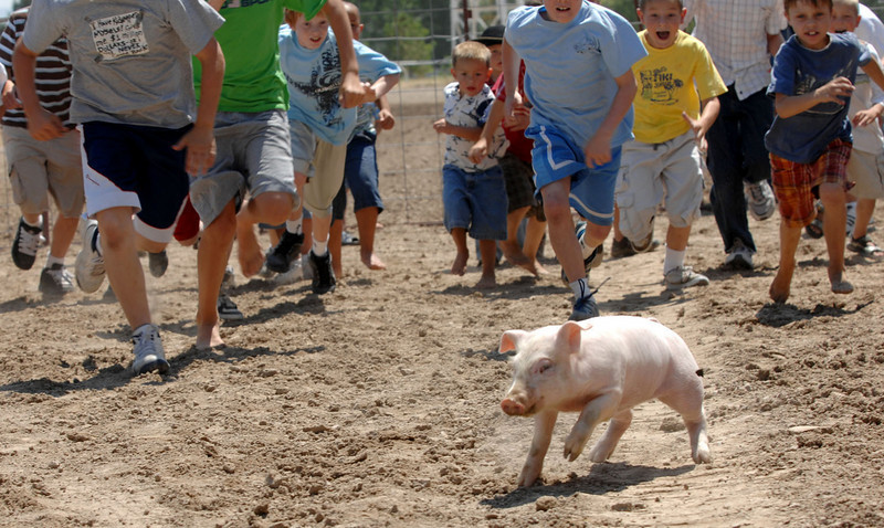 All eyes are on the piglet as he hits the ground and is pursued during the greased pig event at the Pioneer Day celebration at the North Bannock County Fairgrounds in Pocatello, Idaho, Saturday afternoon, July 19, 2008.<br /> AP Photo/Idaho State Journal, Bill Schaefer(IDPOC102).