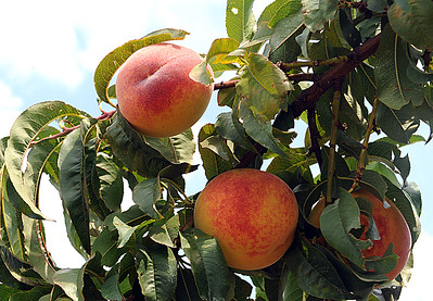 Picking peaches in Henrietta Township
