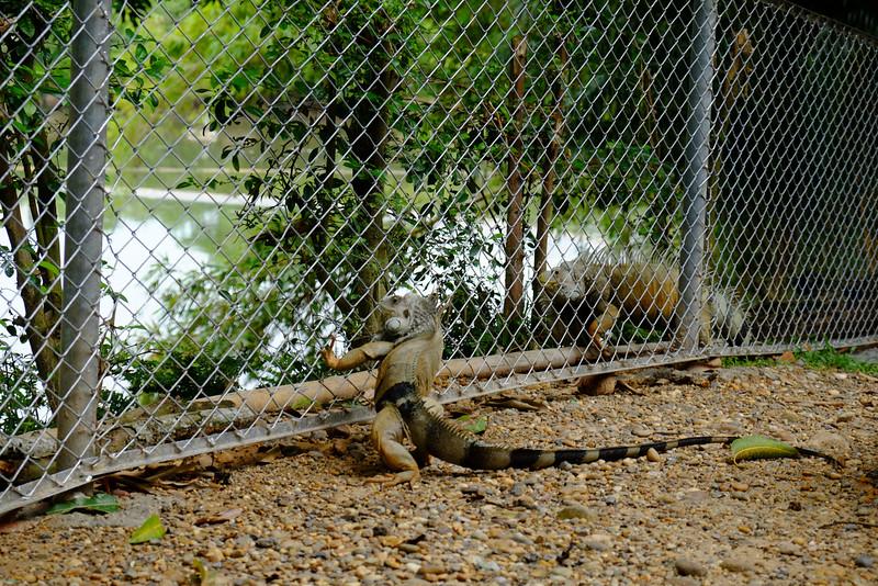 ¡También se hicieron presentes las iguanas, típicas habitantes del lugar!