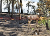 A deer grazing in the burn area of the Black Forest Fire Incident.