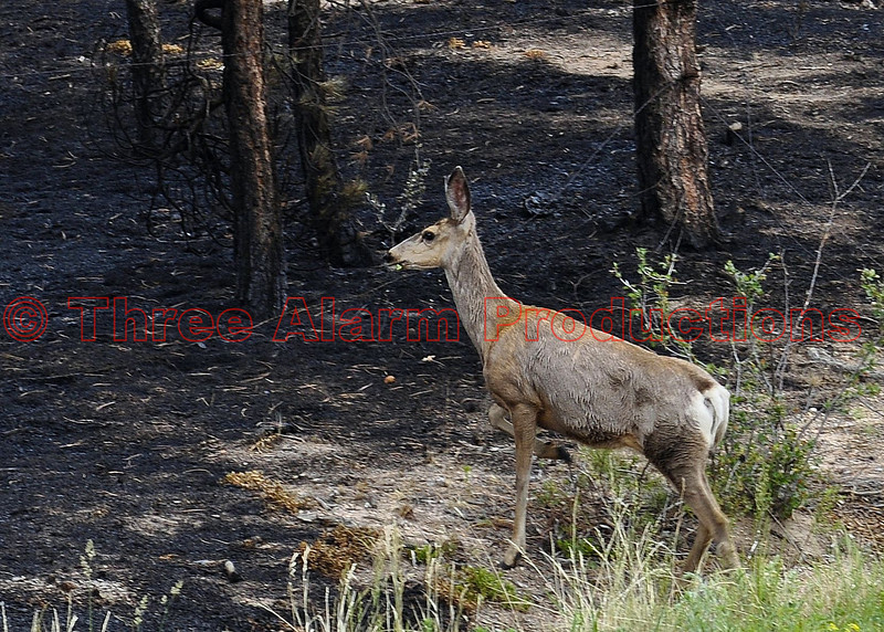 A deer in the burn area of the Black Forest Fire Incident.