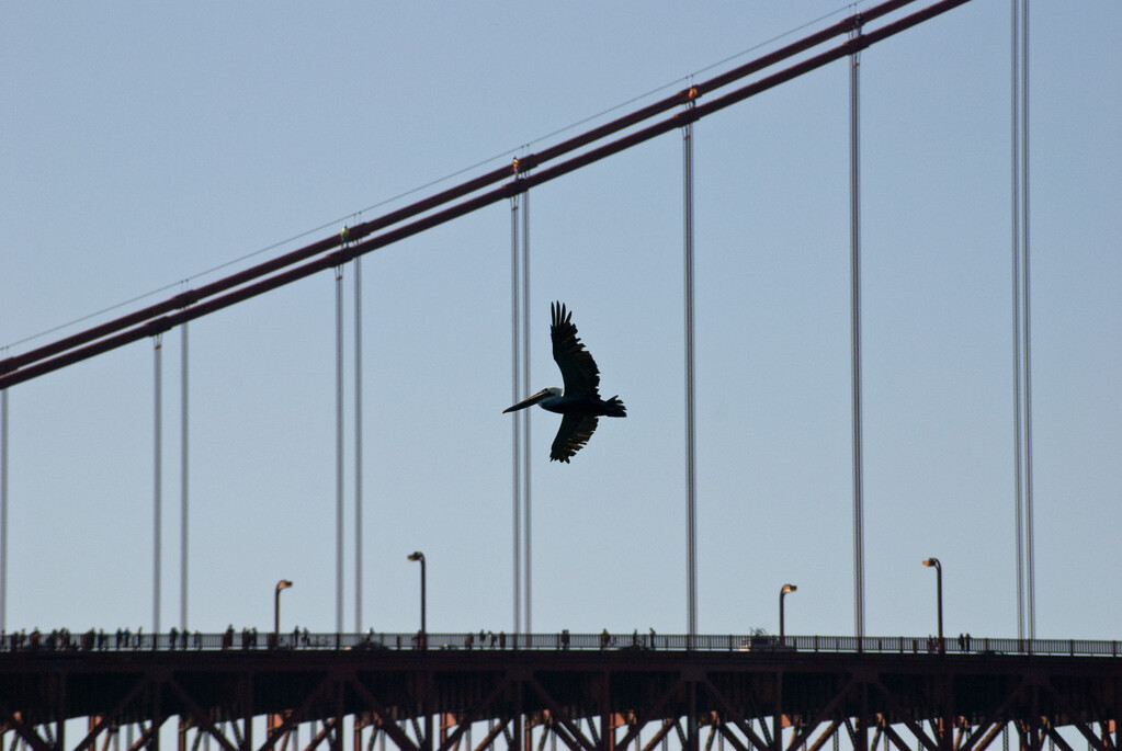 Zwischeneinlage eines Pelikans vor der Golden Gate Bridge.