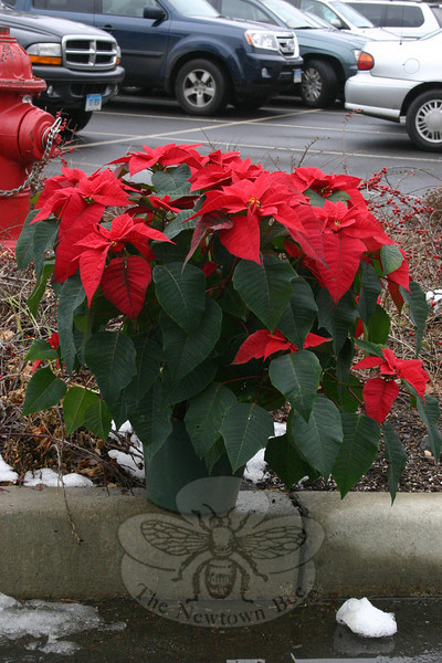 A lone poinsettia plant decorates one of the traffic islands within Church Hill & Queen Commons.  (Hicks photo)
