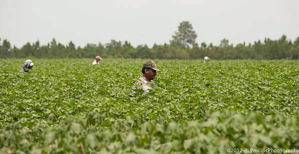Just 4 out of about 10 migrant workers who combed the field on July 26, 2012