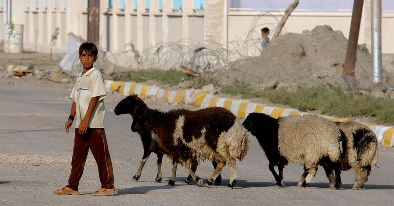 A young shepherd leads his flock of sheep to better pastures in the Hay al Adel neighborhood of Ramadi.