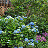 A Nikko blue hydrangea is backed by a rhododendron bush several feet tall. As part of the garden remake, the Kovacses moved the gutter-high rhododendron from the front of the house to a new garden below the back deck.   (Crevier photo)