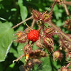 A ripened red wineberry pops out of the pod in mid-summer, to be followed soon by many others.   (Crevier photo)