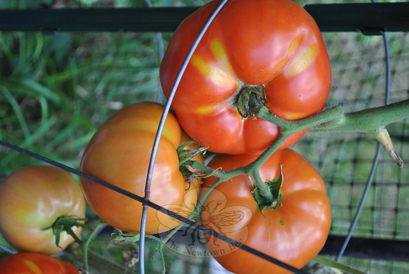 Beefsteak tomatoes are one of several vegetables that thrive in Ms Miller's garden. By shearing off the majority of leaves from the plant  once the fruit is set, tomatoes are able to grow larger and ripen more quickly, she says. (Crevier photo)