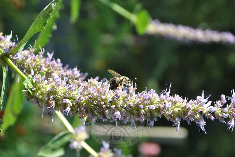 Hyssop from Cindy Miller's garden. (Crevier photo)