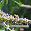 Hyssop from Cindy Miller's garden. (Crevier photo)
