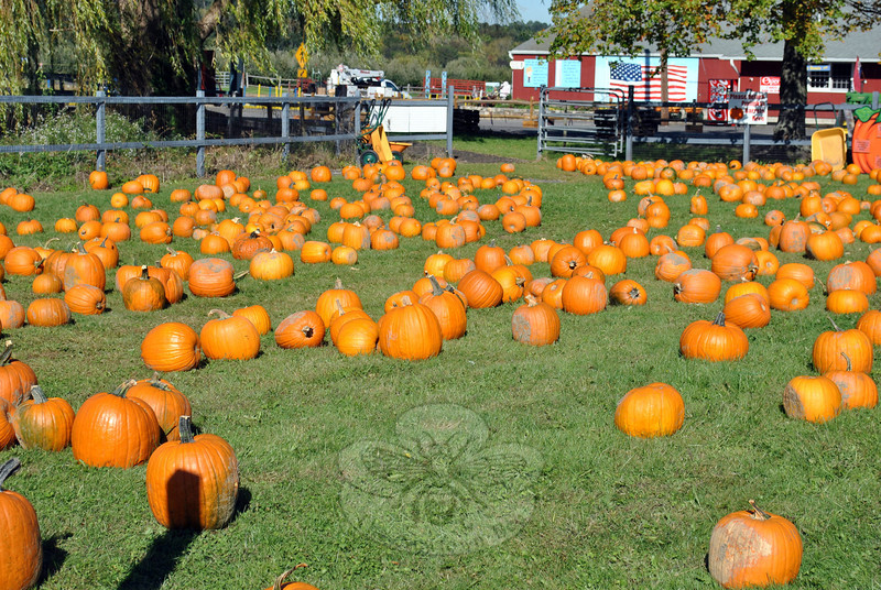 Pick your own pumpkins of all sizes fill a field at Blue Jay Orchards in Bethel. (Crevier photo)