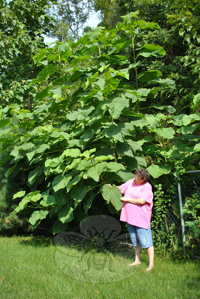 Feeling a little like Jack and the Beanstalk, Madalyn Henry stands next to a gigantic, mysterious weed in her back yard, although she does not know from which magic beans this plant has sprouted. At her current address for 12 years, Ms Henry first noticed a much smaller version of the plant last summer. This year, however, Ms Henry said it seemed like the plant grew inches every day, to reach what she approximates to be a 30-foot height. A best guess is that it may be a plant known as the Paulownia, often considered a weed. (Crevier photo)