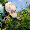 Research entomologist Carole Cheah, PhD, points to weevil damage on the invasive mile-a-minute vine. (Bobowick photo)