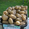 White potatoes from Newtown's Middle Brook Farm and Orchard fill a bin.    (Crevier photo)