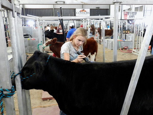 Ginifer O'Bryan of Muldrow focuses on shearing her cow, named Allie, following a one-hour demonstration from instructors Thursday afternoon in a cattle barn on the Connors State College campus in Warner.<br /> O'Bryan, 14, is a camper at the Connors State Be a Champ show cattle camp's first of three sessions, which started Wednesday and ends today. The camp is directed by state Rep. Jerry McPeak, who founded it 31 years ago.