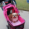 Tiffy, a Shih Tzu, prefers to be pushed in a baby carriage. Special photo by Travis Sloat
