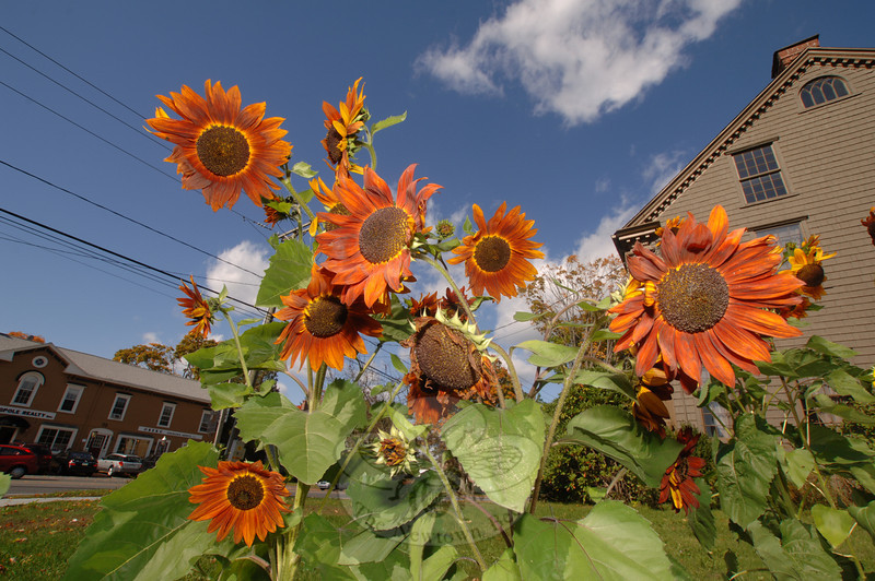 Sunflowers on Main Street, Newtown. (Bee Photo, Bobowick)
