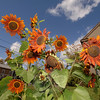 Sunflowers on Main Street, Newtown. (Bee Photo, Bobowick)