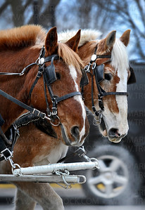 Bayfront Carriages Bergeron horses, Mick, left, and Barney, snort in the chilled air along Lake St. E. in Wayzata while pulling a carriage full of passengers during Wayzata's Holiday kickoff Friday, Nov. 30.