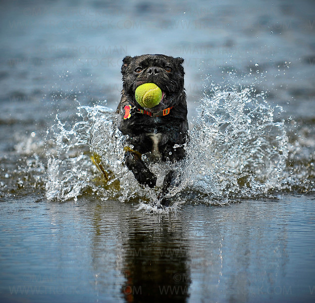 Hot dog.  His tennis ball secured, Papi, a five year old pug-mix, strides through the shallows at Medicine Lake's East Beach towards his humans on another blistering hot day, Sunday, July 1, 2012.