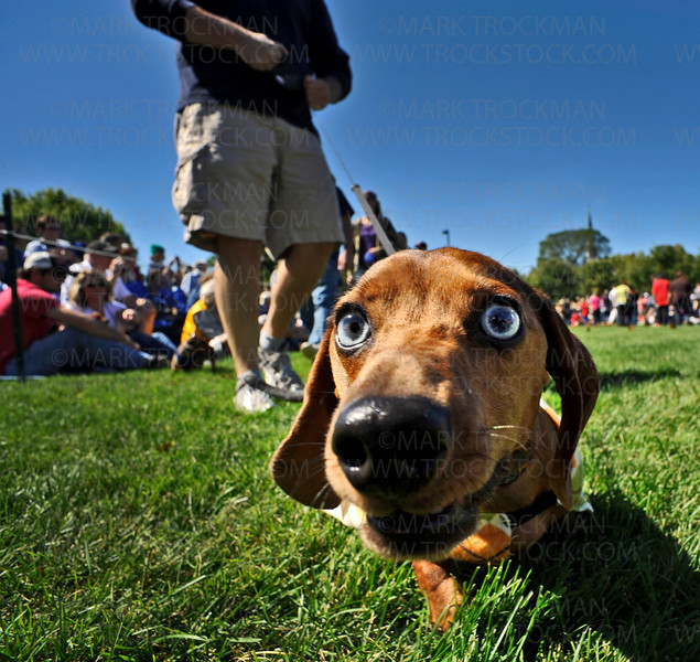 A dachshund racer checks out a photographer's lens during the Parade of Champions before the start of afternoon action at Wayzata West Middle School during the 26th Annual James J. Hill Dachshund Race Saturday, Sept. 11, 2010.
