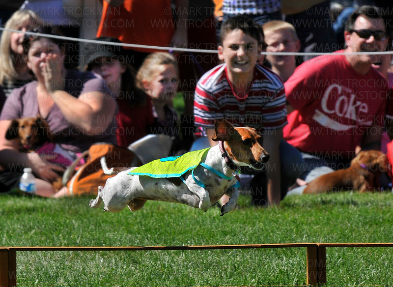 A racing dachshund dashes over a hurdle at Wayzata West Middle School during the 26th Annual James J. Hill Dachshund Races Saturday, Sept. 11, 2010.  The boisterous crowd witnessed two hours of daring dachshund action on a fine late-summer afternoon.