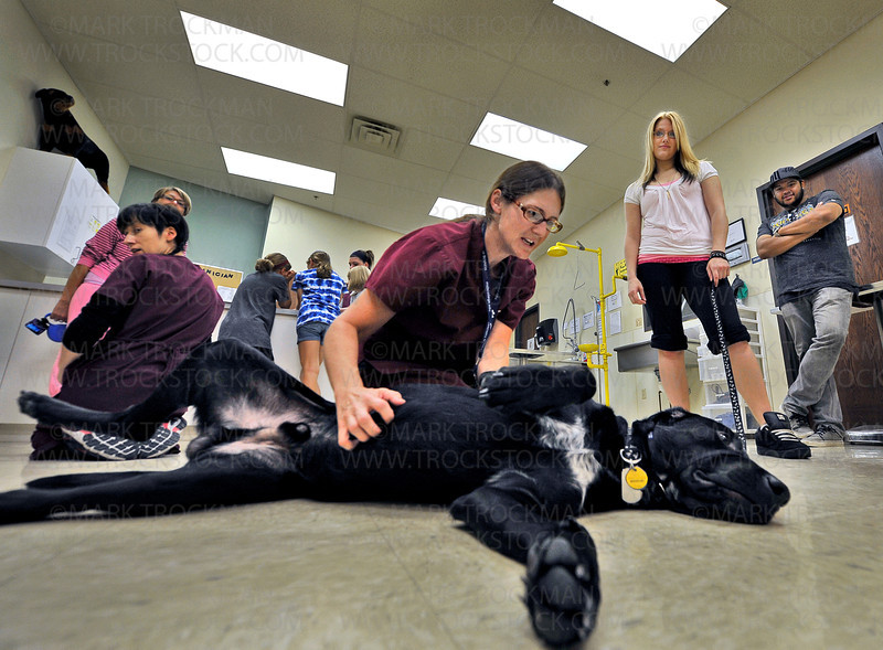 Veterinary Tech head instructor Willow Wiggins, center, palpates the stomach of Niño, a year old, black lab-German pointer mix, while Niño's owners, Breanna Blask, in white, and Anthony Gonzalez, far right, look on.<br /> <br /> Niño was one of several dogs that worked with Junior Vet Camp students Saturday, August 25, at the Minnesota School of Business in Plymouth.