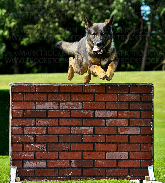 Minnetonka K-9 Unit Officer Troy Denneson (not pictured) runs astride his partner, Ringo, a five year old German Shepard, who easily launches himself over a five-foot-tall, fake-brick wall, at the annual Minnetonka Summer Fest on the Minnetonka Civic Center Campus Saturday, June 23, 2012.