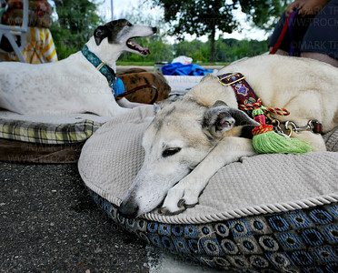 Two former racers relax under Northern Lights Greyhound Adoption's canopy during Westonka Dog Days in Harbor District Park, Mound, Saturday, Aug. 13.  The adoption agency, based in Coon Rapids, finds responsible homes for retired racing greyhounds.