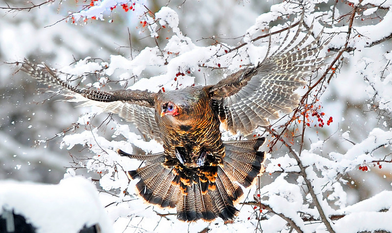 A wild turkey takes flight from a tree on the Delcliffe Lane in Lewiston Tuesday morning while he and more than a dozen others were forraging for food after Monday night's snowstorm.