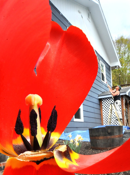 Steve Hall of Lewiston paints the house of Dave Light on the Wales Road in Sabattus as the sun peaked out Wednesday afternoon and opened up some tulips that were beginning to fade away and give way to other flowers starting to bloom from the recent rain and longer days.