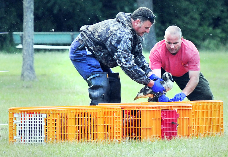 Mike Robitaille from the Lewiston Public Works Water Division,left and Dave Chabot of the Wardens Service, crate one of several dozen Canada geese that were captured at the Auburn Outlet Thursday morning.  The beautiful but messy birds have become a nuisance at the public beach and were relocated to the Flagstaff Lake area.