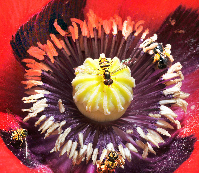 "Several bees work on a poppy in Hazel Binette's garden on Hackett Road in Auburn Tuesday afternoon.  ""It got away from me this year"", says the Auburn gardiner of her prize winning garden that she has been expanding for the past 35 years.  ""Between the rain and the hot weather, I just have not had the chance to work on it much this year."""
