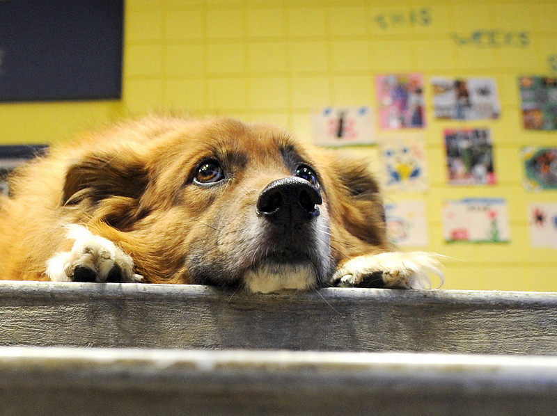 Doofus, the unofficial mascot of the Boys and Girls Club in Auburn, hangs out in his usual spot at the top of the entrance stairs where he greets visitors.