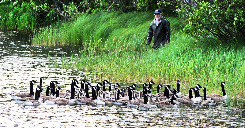 After several other wildlife experts directed these Canada geese toward shore with kayaks, Wildlife Biological Technician Bill White pops out of his hiding spot to keep the gaggle headed toward a pen that was set up at the Auburn Outlet Thursday morning where they were captured, banded and set free in the area of Flagstaff Lake.
