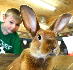Jeremie Johnson, 7 of Norway, checks out a Red Satin rabbit at the Oxford County Fair during the Educational and Community Day.