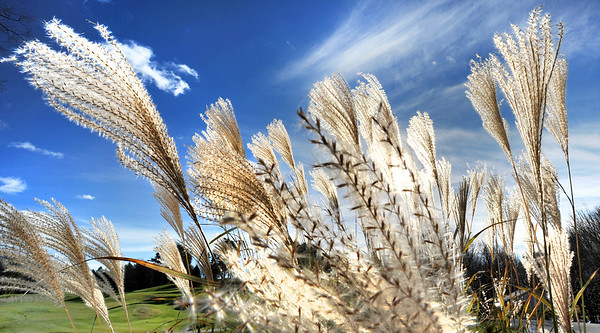 Miscanthus sinensis 'Silberfeder,' also known as silver feather grass, blows in the wind on the fringe of the putting green at Martindale Country Club in Auburn Sunday afternoon.