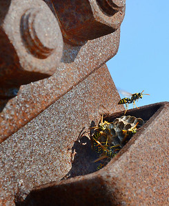 A wasp prepares to take off from it's nest inside a support for the walking bridge across the Adroscoggin River in Bethel.