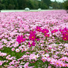 This year's wildflower plantings by the North Carolina Department of Transportation are putting on a spectacular show of fall-blooming cosmos along 264 interchanges and along the by-pass.  A splash of dark pink cosmos stand out among the mass planting of light pink along the on ramp at Mozingo Road and 264 Friday afternoon.