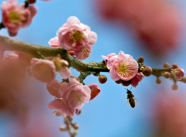 A honey bee visits flower to flower on the early blooming okame cherry in the Elm Street Park Saturday afternoon.  The okame variety is one of the first cherry trees to bloom giving active honey bees a good meal.