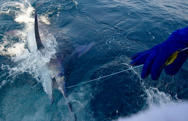 A blue marlin, estimated at around 550lbs., is reeled in by Karen Sealock of Nags Head Tuesday, June 24th, on the Qualifier out of Oregon Inlet.
