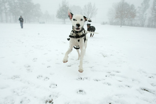 Boomer runs and plays with his other dog buddies at the Elmhurst Elementary field Tuesday afternoon.