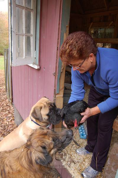 Dogs can be trained to treat a chicken flock with respect. Here, Susan White encourages her bull mastiff, Earl, and her Leonburger, Daisy, to gently greet one of her hens.  (Crevier photo)