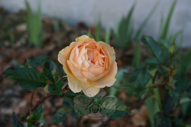 A surprising find outside the rectory at St Rose this week: A St Rose rose, still holding its perfect shape and color.