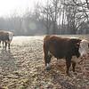 Two bulls on Riverside Road in Sandy Hook.