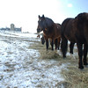 The Second Company Governor's Horse Guard is still in jeopardy from proposed state budget cuts as the state grapples with its deficit.The horses were unconcerned with buget woes around them this week, however, as they grazed on fresh hay in frozen fields.  (Bobowick photo)
