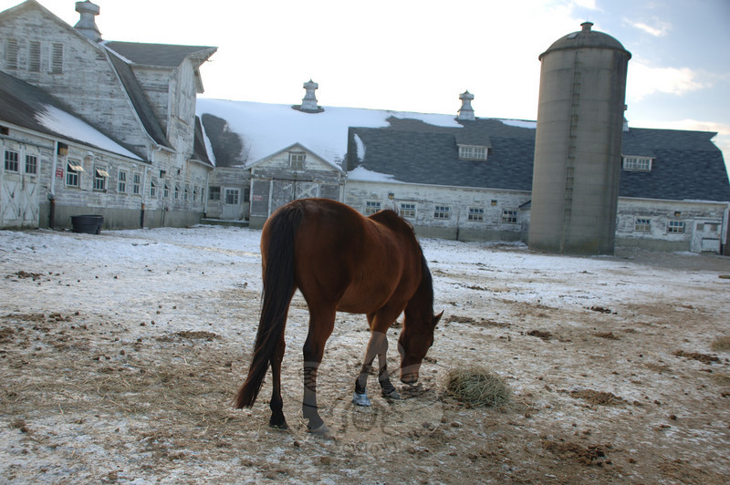 The Second Company Governor's Horse Guard is still in jeopardy from proposed state budget cuts as the state grapples with its deficit. The horses were unconcerned with buget woes surrounding them this week, however, as they grazed on fresh hay in frozen fields.  (Bobowick photo)