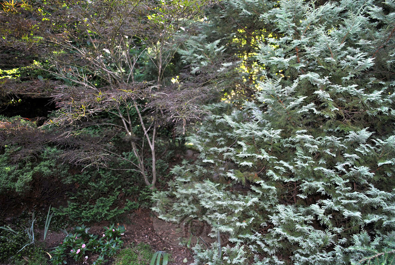 A red pygmy maple, center, is flanked by a low growing Well's Special false cypress on the left and a snow cypress on the right. Ms O'Connor enjoys placing unusual specimens in her gardens. (Crevier photo)